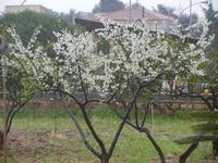 albero in fiore bagnato dalla pioggia - 25 marzo 2012  - Alcamo (476 clic)