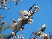 albicocco in fiore - particolare  - giardino dell'I.C. G. Pascoli - 15 marzo 2012  - Castellammare del golfo (650 clic)