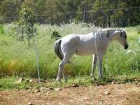 cavallo bianco - Bosco di Scorace - Il Contadino - 13 maggio 2012  - Buseto palizzolo (354 clic)