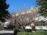 albicocco in fiore - giardino dell'I.C. G. Pascoli - 15 marzo 2012  - Castellammare del golfo (393 clic)