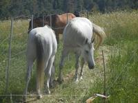 cavalli - Bosco di Scorace - Il Contadino - 13 maggio 2012  - Buseto palizzolo (420 clic)