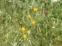 vegetazione spontanea - Bosco di Scorace - 13 maggio 2012  - Buseto palizzolo (456 clic)