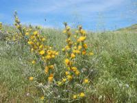 vegetazione spontanea - Bosco di Scorace - 13 maggio 2012  - Buseto palizzolo (611 clic)