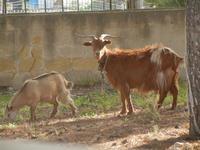 capra e capretta - 8 aprile 2012  - San vito lo capo (463 clic)