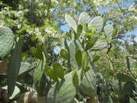 SIRIGNANO - Agriturismo - pianta di ficodindia - 1 maggio 2012  - Monreale (749 clic)