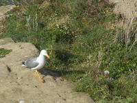 gabbiano - Cala Petrolo - 5 marzo 2012  - Castellammare del golfo (523 clic)