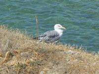 gabbiano sul mare - 11 agosto 2012  - Balestrate (612 clic)