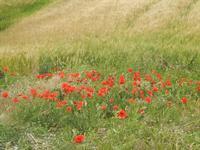 papaveri e campo di grano - 20 maggio 2012  - Poggioreale (981 clic)
