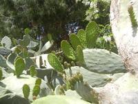 SIRIGNANO - Agriturismo - pianta di ficodindia - 1 maggio 2012  - Monreale (580 clic)