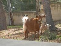 capra e capretta - 8 aprile 2012  - San vito lo capo (385 clic)