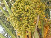 datteri di palma  - Imbarcadero Storico per l'Isola di Mozia - 9 settembre 2012  - Marsala (1097 clic)