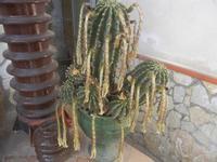 fiori appassiti di cactus - 3 agosto 2012  - Alcamo (224 clic)