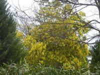 albero di mimosa in fiore - 5 febbraio 2012  - Santa ninfa (589 clic)