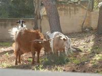 capre e caprette - 8 aprile 2012  - San vito lo capo (480 clic)