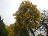 alberi di mimosa in fiore - 5 febbraio 2012  - Santa ninfa (485 clic)