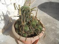 fiori appassiti di cactus - 3 agosto 2012  - Alcamo (355 clic)
