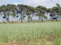 piantagione d'aglio - 8 aprile 2012  - Nubia (883 clic)