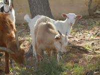 capre e caprette - 8 aprile 2012  - San vito lo capo (436 clic)