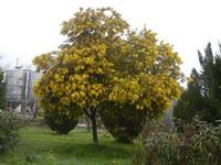 albero di mimosa in fiore - 5 febbraio 2012  - Santa ninfa (401 clic)