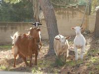 capre e caprette - 8 aprile 2012  - San vito lo capo (477 clic)