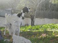 capra e capretta - 8 aprile 2012  - San vito lo capo (1474 clic)