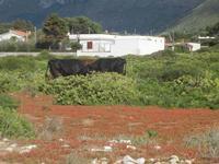 bovini ai margini della Riserva Naturale Orientata Capo Rama - 15 aprile 2012  - Terrasini (572 clic)