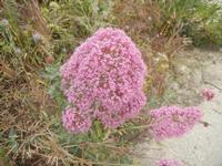 flora - 20 maggio 2012  - Gibellina (482 clic)
