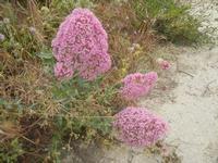 flora - 20 maggio 2012  - Gibellina (424 clic)