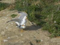 gabbiani - Cala Petrolo - 5 marzo 2012  - Castellammare del golfo (461 clic)