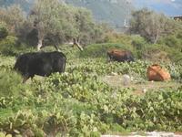 bovini ai margini della Riserva Naturale Orientata Capo Rama - 15 aprile 2012  - Terrasini (641 clic)