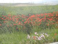 fiori di campo, papaveri e grano - 20 maggio 2012  - Poggioreale (956 clic)