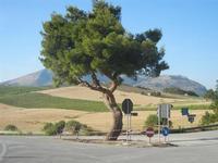 incrocio con pino e panorama agreste - campi di grano, vigneti e monti - 2 giugno 2012  - Segesta (385 clic)