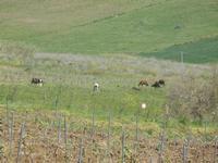 panorama agreste e cavalli in libertà - Baglio Arcudaci - 9 aprile 2012  - Bruca (1023 clic)