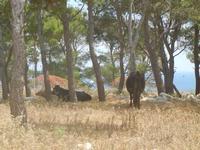bovini in pineta - 24 maggio 2012  - San vito lo capo (295 clic)