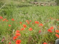 papaveri, campagna e ponte ferroviario - 20 maggio 2012  - Gibellina (924 clic)