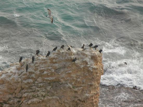 cormorani e gabbiani su scoglio  - SCIACCA - inserita il 14-Apr-14