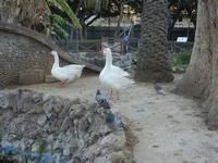 Villa Margherita - oche e piccioni  - nel giardino pubblico - 9 aprile 2012  - Trapani (1674 clic)