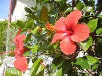 fiori di ibisco rosso - 9 settembre 2012  - Alcamo (228 clic)