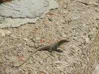 lucertola al Belvedere - 15 agosto 2012  - Castellammare del golfo (241 clic)