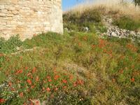 ruderi Castello Eufemio con papaveri - 2 giugno 2012  - Calatafimi segesta (273 clic)