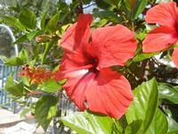 fiori di ibisco rosso - 9 settembre 2012  - Alcamo (472 clic)