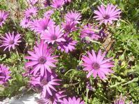 margherite lilla - Baglio Arcudaci - 9 aprile 2012  - Bruca (740 clic)
