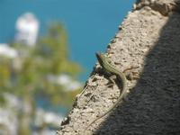 lucertola al Belvedere - 15 agosto 2012  - Castellammare del golfo (926 clic)