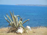 agave e Golfo di Castellammare - 11 agosto 2012  - Trappeto (566 clic)