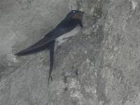 rondine - 8 maggio 2012  - Scopello (596 clic)