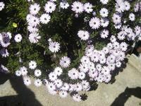 margherite - 1 aprile 2012  - Alcamo (399 clic)