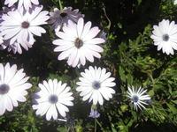 margherite - 1 aprile 2012  - Alcamo (421 clic)