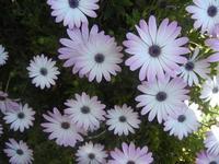 margherite - 1 aprile 2012  - Alcamo (601 clic)