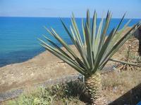 agave e mare - 11 agosto 2012  - Balestrate (352 clic)
