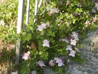pianta e fiori di capperi presso il Castello Eufemio - 2 giugno 2012  - Calatafimi segesta (403 clic)